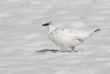 Alpensneeuwhoen / (Rock) Ptarmigan