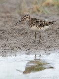 Breedbekstrandloper - Broad-billed Sandpiper - Limicola falcinellus