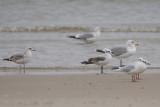 Zwartkopmeeuw / Mediterranean Gull
