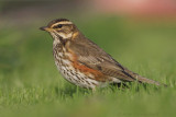 Koperwiek / Redwing