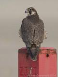 Slechtvalk - Peregrine Falcon - Falco peregrinus