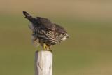 Smelleken - Merlin - Falco columbarius