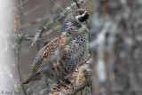 Hazelhoen / Hazel Grouse