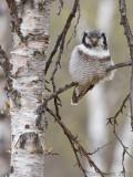 Sperweruil / Northern Hawk Owl