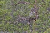 Oeraluil /Ural Owl