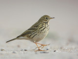 Graspieper / Meadow Pipit