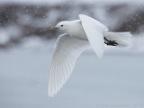 Ivoormeeuw - Ivory Gull