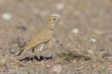 Rosse Woestijnleeuwerik / Bar-tailed Desert Lark