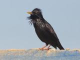 Zwarte Spreeuw / Spotless Starling