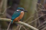 IJsvogel / Common Kingfisher
