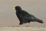 Alpenkauw / Alpine Chough