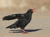 Alpenkraai / Red-billed Chough
