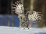 Laplanduil / Great Grey Owl