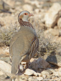 Barbarijse Patrijs / Barbary Partridge