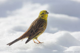 Geelgors / Yellowhammer