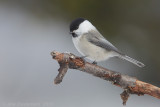 Matkop / Willow Tit
