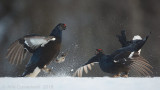 Korhoen / Black Grouse