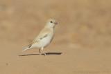 Woestijnmus / Desert Sparrow