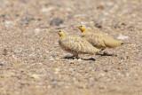 Sahelzandhoen / Spotted Sandgrouse