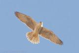 Lannervalk / Lanner Falcon
