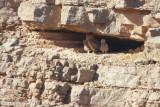 Woestijnoehoe / Pharaoh Eagle-Owl