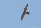 Roodpootvalk / Red-footed Falcon