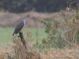 Havik / Northern Goshawk