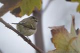 Humes Bladkoning / Hume's Leaf Warbler