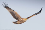 Keizerarend / Eastern Imperial Eagle