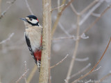 Grote Bonte Specht /Great Spotted Woodpecker