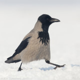 Bonte Kraai / Hooded Crow