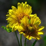 Huisach daisy