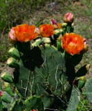 prickly pear of some sort