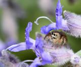 Jumping spider under russian sage flower