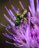 green metalic sweat bee