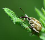 Silly weevil