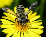 Leaf cutting bee on Camphor daisy