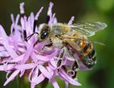 Classic pollinator