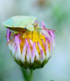 Shield bug on a bud