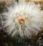 Salsify seed pod