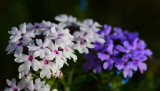 White verbena mixed in with all the purple ones