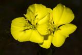 yellow evening primrose in the yard