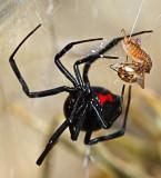Large black widow spider