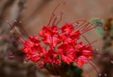 Devils Bouquet