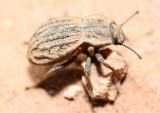 darkling beetle with mite