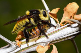 robber fly (mallophora fautrix) and bee