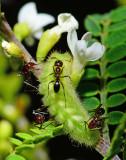 hair streak caterpillar with attending ant.