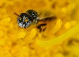 tiny sweat bee