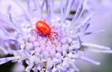small mite on mist flower