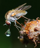 bee fly and drop